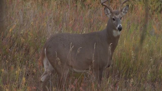 The disappearing, reappearing Montana Whitetail.