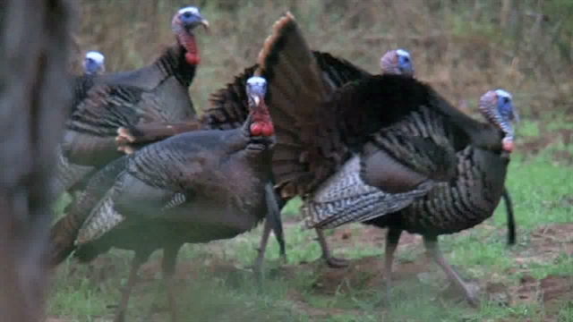 http://media.outdoorchannel.com/outdoorchannel/942/143/TeamTrophyQuest_Turkey_2011_TurkeyHunt_640x360_2060700146_640x360.jpg